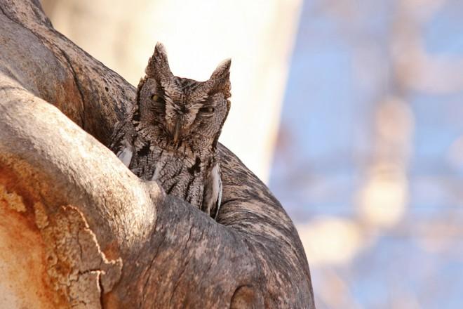 Western-Screech-Owl-Clear-Creek-2-17-13-18-200PI