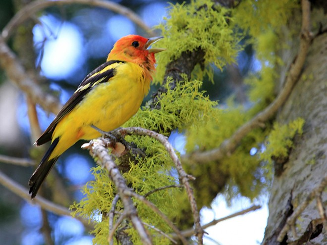 Western-Tanager-Singing