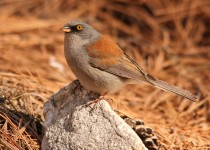 Yellow-Eyed-Junco-Bear-Canyon-3-18-13-9-200PI