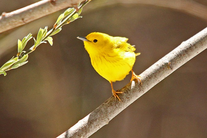 Yellow-Warbler-Cave-Springs-4-15-12-37-200PI
