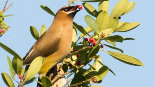 chicksandwaxwings-1297-1