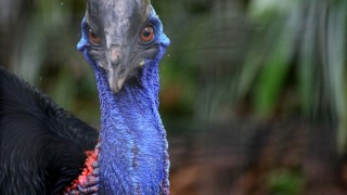 southern-cassowary