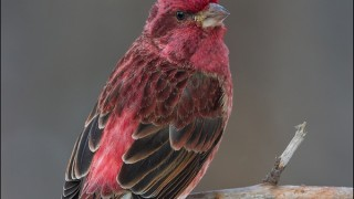 tn_Purple-Finch_0175-1