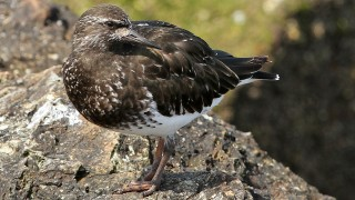 5Black-Turnstone