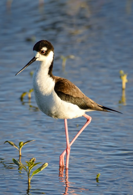 Black-necked-Stilt-Bremer