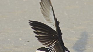 BlackSkimFlight7