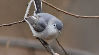 Blue-gray-Gnatcatcher