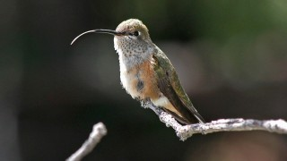 Broadtailed-Hummingbird-Elden-8-18-11-2-200PI