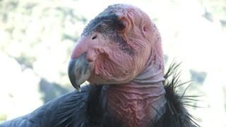 California Condor_320x180