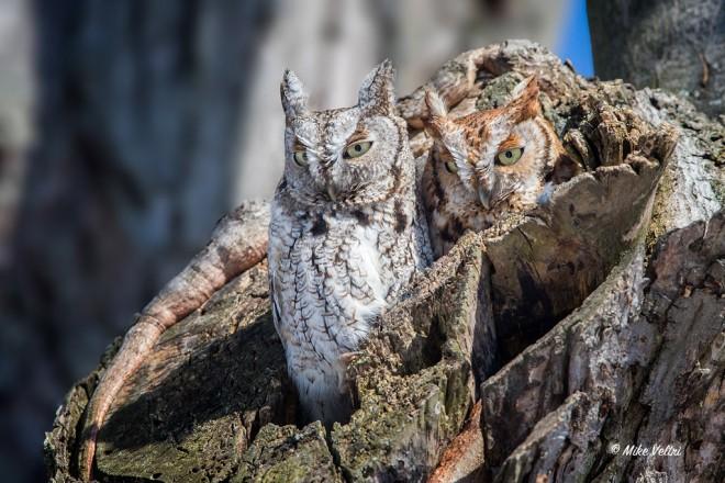 Eastern Screech-Owls.