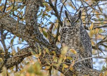 Great-Horned-Owl-Bremer