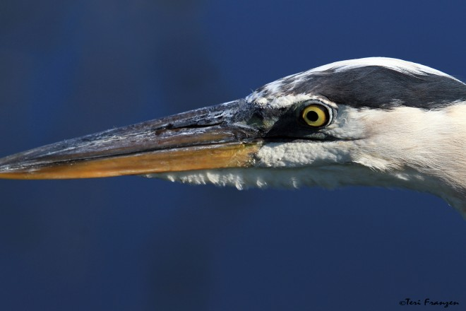 Great_Blue_Heron2