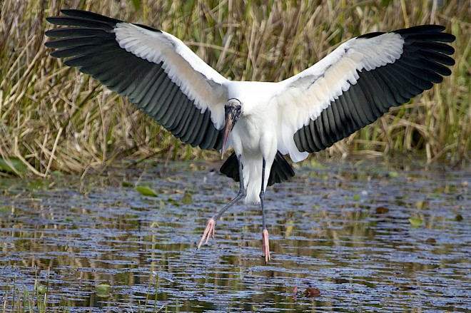 Landing-wood-stork