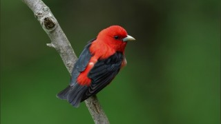 Scarlet Tanager by jbuescher.