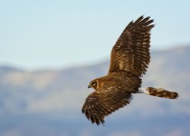 Northern-Harrier-Flying-Bremer
