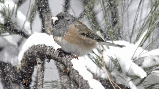 Oregon-Junco-Yard-2-27-11-1-200PI
