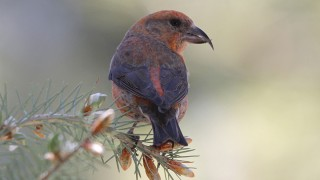 Red-Crossbill-Yard-5-28-11-1-200PI