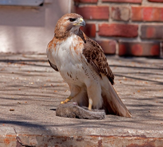 Red-tailed-Hawk-David-Butel_Kansas-City__MG_1330