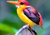 Rufous-backed-Kingfisher