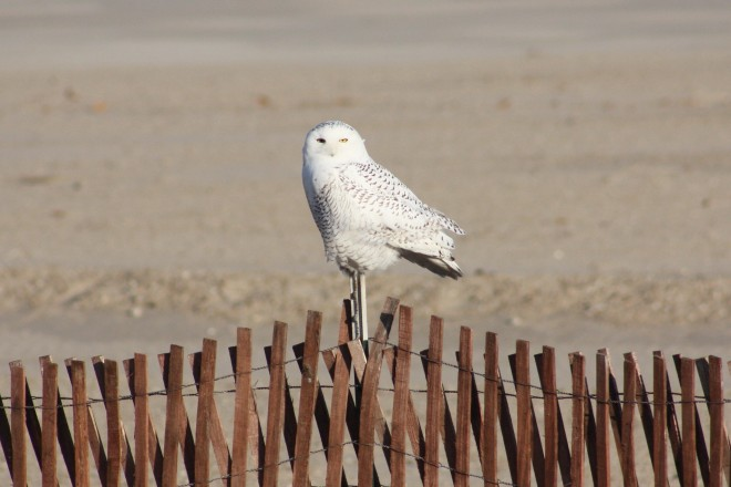 Snowy-Owl-Dec.-12-2011-on-fence-b