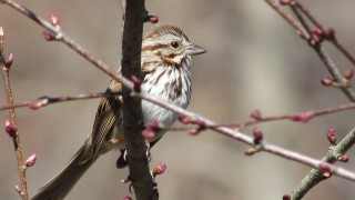 Sparrow-songster-roost
