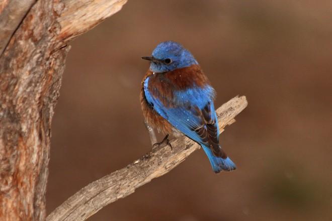 Western-Bluebird-Yard-4-5-14-2-200PI