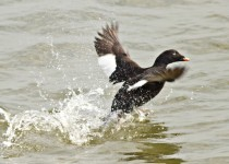 White-winged-scoter-RS