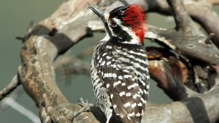 Woodpecker-Nuttalls-2014-04-02-206a