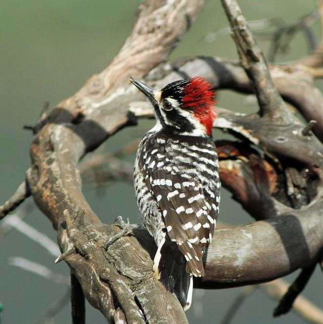 Woodpecker-Nuttalls-2014-04-02-206a