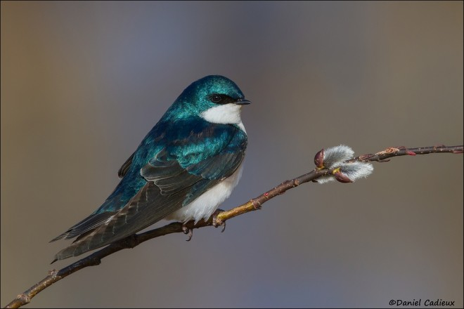 tn_Tree-Swallow_9139-12