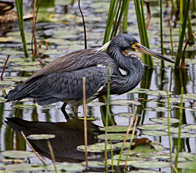 tricolored-heron