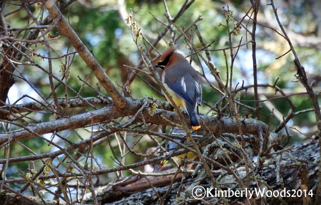 waxwing2014Bcopyright