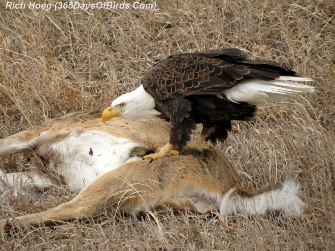 024B-Birds-365-Roadkill-Cafe-Bald-Eagle