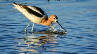 American-Avocet-in-Action-Bremer