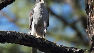 April-8-Snowshed-Trail-Northern-Goshawk2