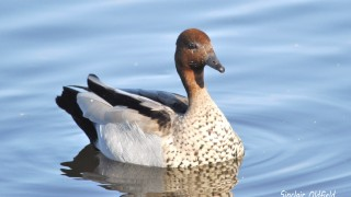 Ausrtalian-Wood-Duck-copy
