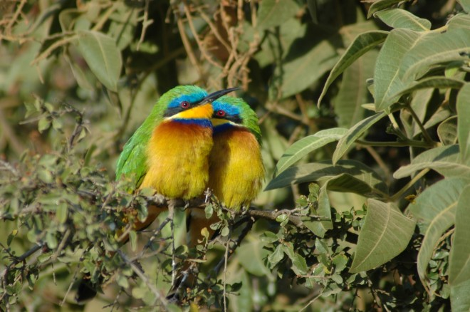 Blue-Breasted-Bee-eaters-Merops-Variegatus-1