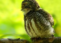 COLLARED-OWLET-01