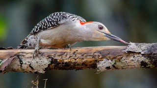DSC0126-Red-bellied-Woodpecker1