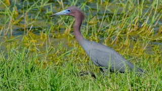 DSC0132-Little-Blue-Heron