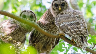 DSC0144-Barred-Owls