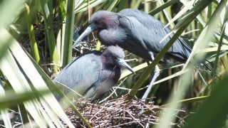 Little Blue Herons tend a nest in Tampa, Florida. Nesting by the species in South Florida fell 83 percent in 2014. Photo by Kathleen Robson