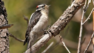 Downy-Woodpecker-Elden-4-7-14-8-200PI