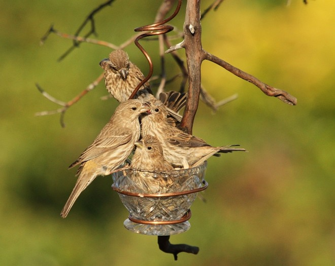 Finch-House-juv-2014-05-29-097