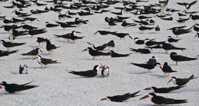 A Black Skimmer nesting colony.