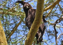 Long-crested-eagle