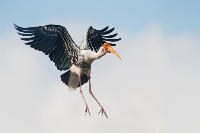 Painted-Stork_Kokkare-Bellur_20140225_144
