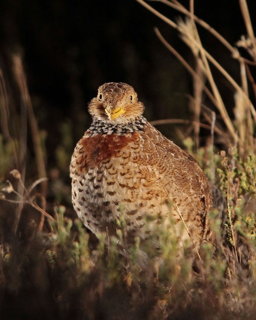 Plains-wanderer