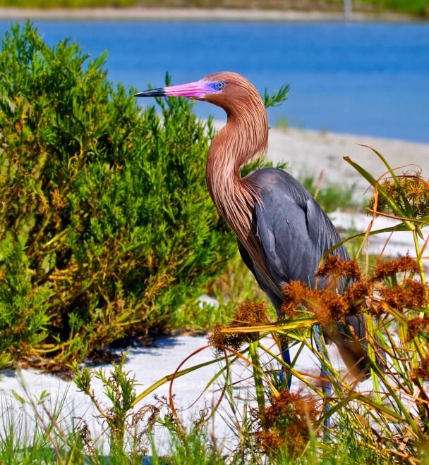 Reddish-Egret1