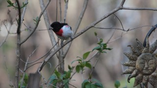 Rose-breasted-Grosbeak-05-06-14